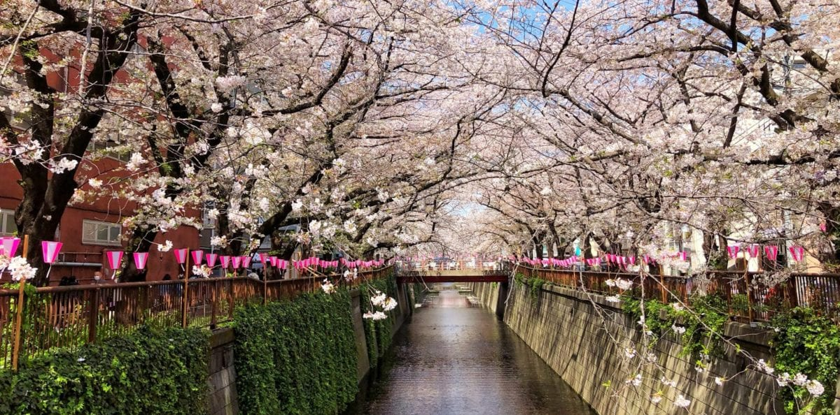 A Teenager's Wish: To See the Tokyo Cherry Blossoms in Bloom